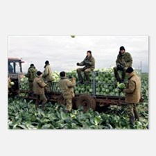 Harvesting cabbages - Postcards (Pk of 8)