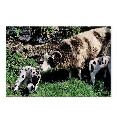 Jacob sheep - Postcards (Pk of 8)