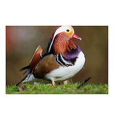 Male mandarin duck - Postcards (Pk of 8)