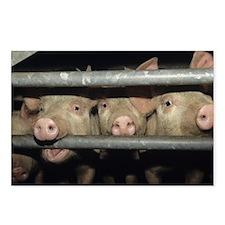 Pigs - Postcards (Pk of 8)