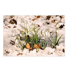 Snowdrops (Galanthus nivalis) - Postcards (Pk of 8