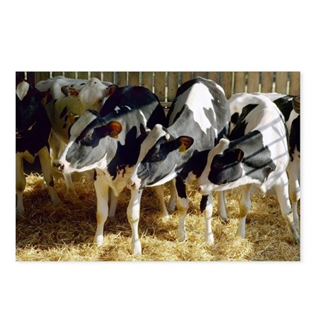 Young friesian dairy cows - Postcards (Pk of 8)