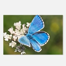 Adonis blue butterfly - Postcards (Pk of 8)