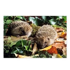 Baby hedgehogs - Postcards (Pk of 8)