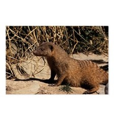 Banded mongoose - Postcards (Pk of 8)