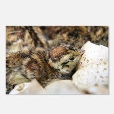 Black grouse chick - Postcards (Pk of 8)