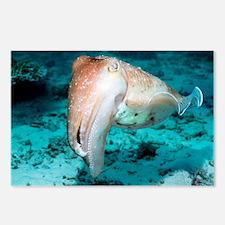 Broadclub cuttlefish - Postcards (Pk of 8)