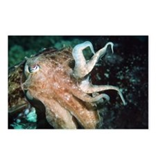 Broadclub cuttlefish - Postcards (Pk of 8)