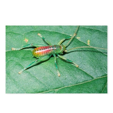 Bush-cricket nymph - Postcards (Pk of 8)