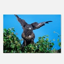 Common buzzard - Postcards (Pk of 8)