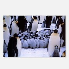 Emperor penguin chicks huddling - Postcards (Pk of