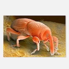 Grain weevil - Postcards (Pk of 8)