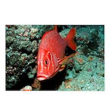 Giant squirrelfish - Postcards (Pk of 8)
