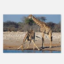 Giraffes - Postcards (Pk of 8)