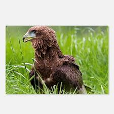 Harris hawk - Postcards (Pk of 8)