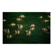 Hippopotamuses in water - Postcards (Pk of 8)