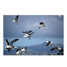 Kelp gulls - Postcards (Pk of 8)