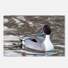 Male pintail - Postcards (Pk of 8)