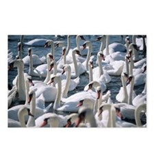 Mute swans - Postcards (Pk of 8)