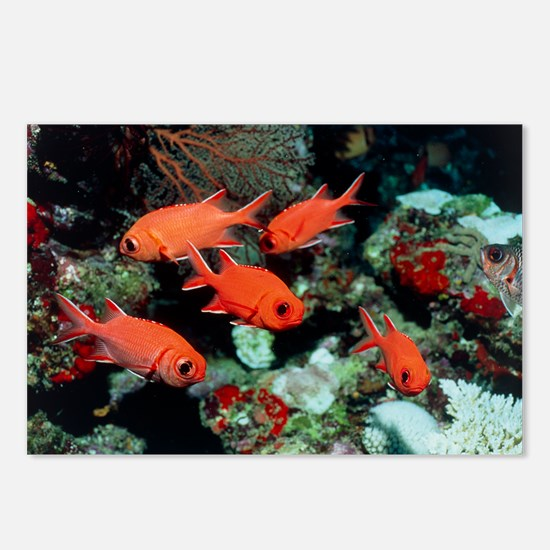 Pinecone soldierfish - Postcards (Pk of 8)