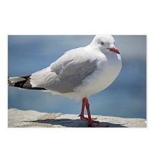Red billed gull - Postcards (Pk of 8)