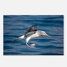 Salvin's albatross - Postcards (Pk of 8)