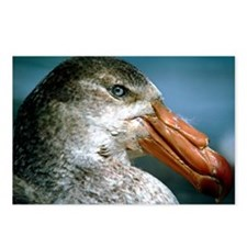 Southern giant petrel - Postcards (Pk of 8)
