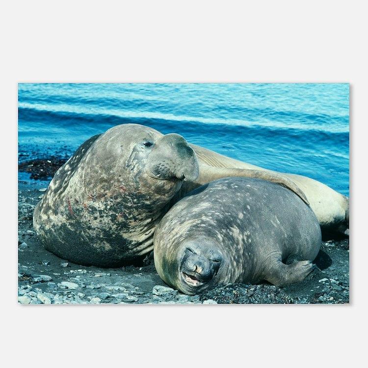 Southern elephant seals - Postcards (Pk of 8)