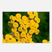 Tansy (Tanacetum vulgare) - Postcards (Pk of 8)