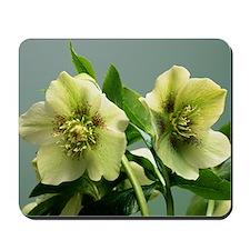 Hellebore flowers - Mousepad