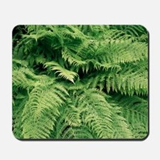 Lady fern fronds (Athyrium filix-femina) - Mousepa