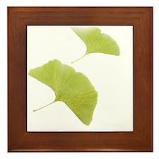 Maidenhair leaves (Ginkgo biloba) - Framed Tile