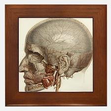Head vascular anatomy, historical artwork - Framed