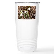 Caucasian Snowdrop (Galanthus caucasicus) - Cerami