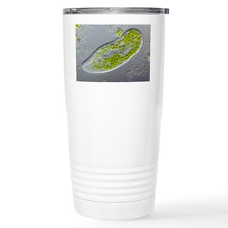 Paramecium protozoan,light micrograph - Stainless