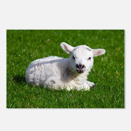 Baby lamb Postcards (Package of 8)