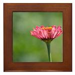 Pink Zinnia Flower Framed Tile
