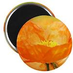 orange iceland poppy Magnet