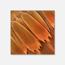 Butterfly scales (Morpho aega), SEM - Square Stick
