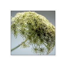Dill (Anethum graveolens) - Square Sticker 3