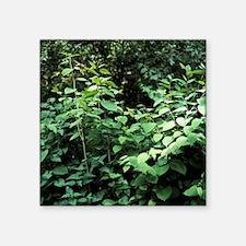 Japanese knotweed - Square Sticker 3