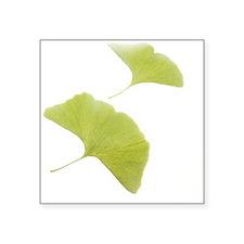 Maidenhair leaves (Ginkgo biloba) - Square Sticker