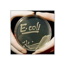 Petri dish culture of E.coli bacteria - Square Sti