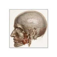 Head vascular anatomy, historical artwork - Square