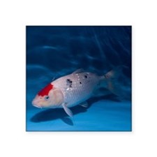Sanke Koi Carp pool - Square Sticker 3
