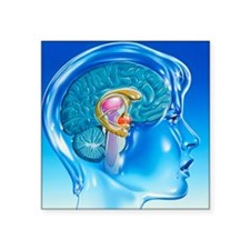 Artwork of the limbic system of the human brain -