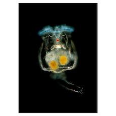 Light micrograph of a common rotifer Brachionus sp Poster