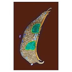 Giardia protozoan, TEM Poster