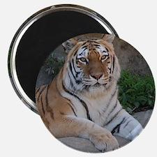 "Bengal Tiger 2.25"" Magnet (100 pack)"