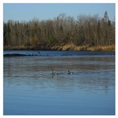 Geese in the River Wall Art Poster